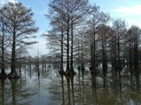 Lake Blackshear Cypresses, January 2013